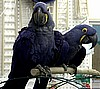 Captive bred Young Hyacinth Macaws
