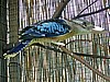 Blue Winged Kookaburra
