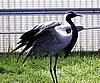 Demoiselle Crane, 6 year old egg laying hen