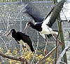 White Bellied Storks