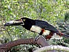 Collared Aracari That got lose for 1 hour